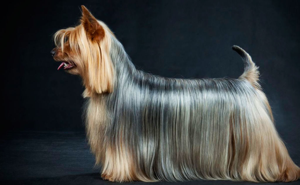 Стандарт породы собаки