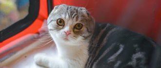 Белые выделения у кошки