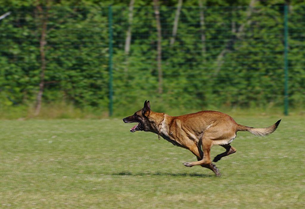 Бельгийская овчарка - активная и сообразительная собака