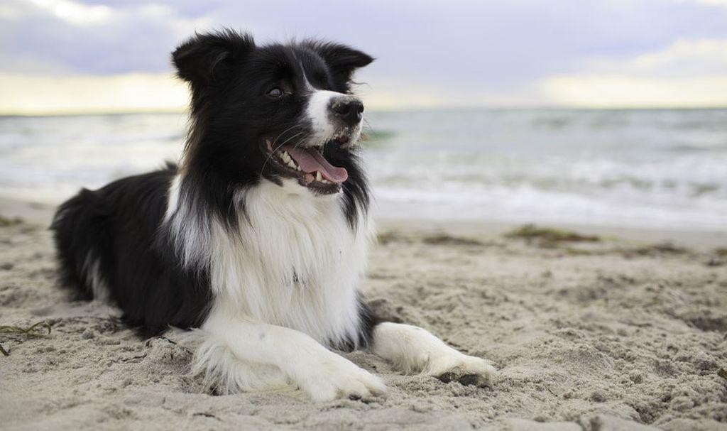 Продолжительность жизни собак бордер колли около 16 лет