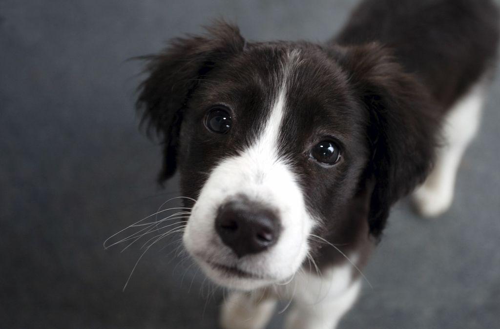 Породистого щенка приобретайте в специализированных питомниках