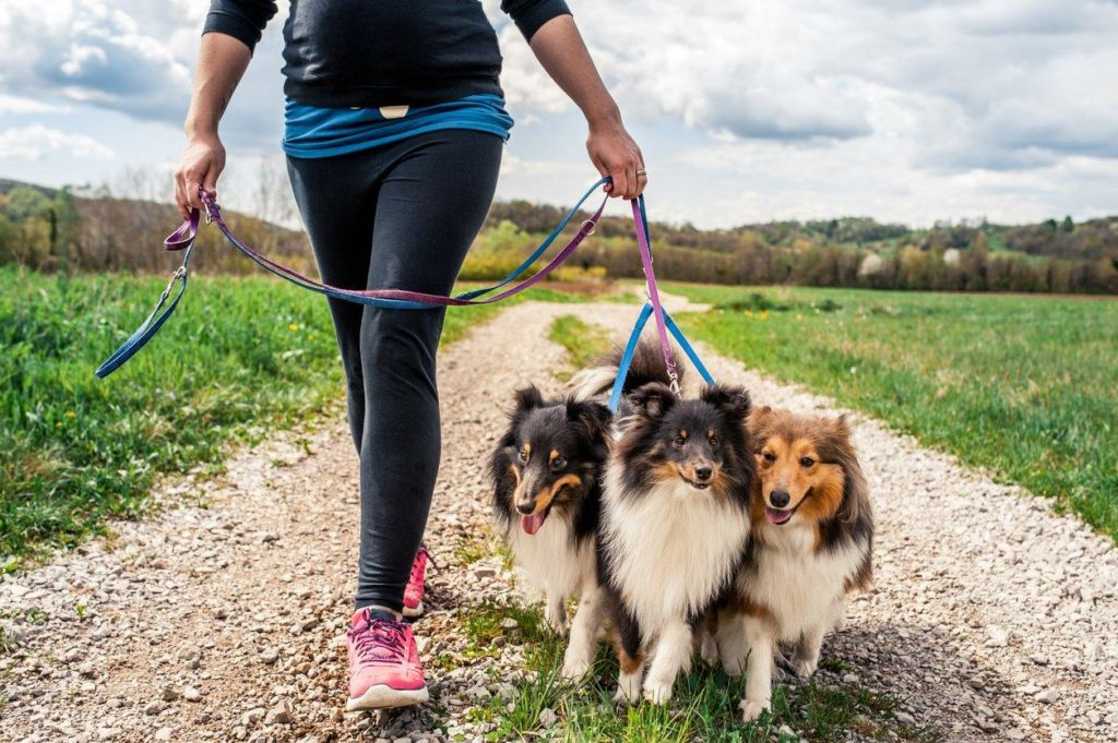 Собаки шелти - отличные друзья человека и компаньоны