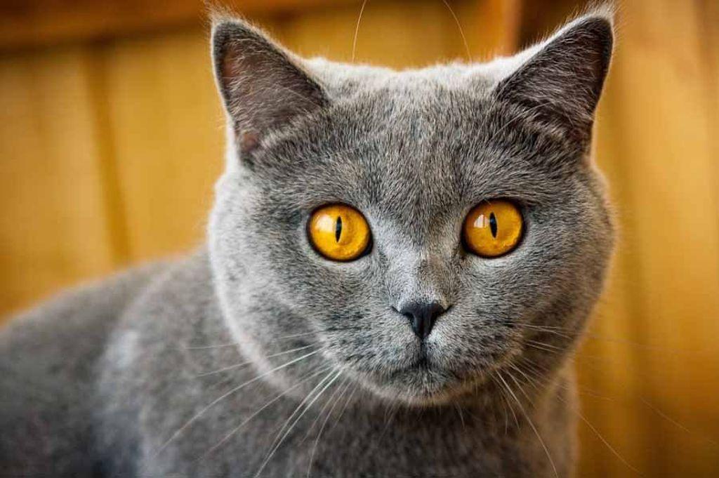 Если кот пристально смотрит на хозяина, то он либо что-то просит, либо пытается выяснить настроение хозяина