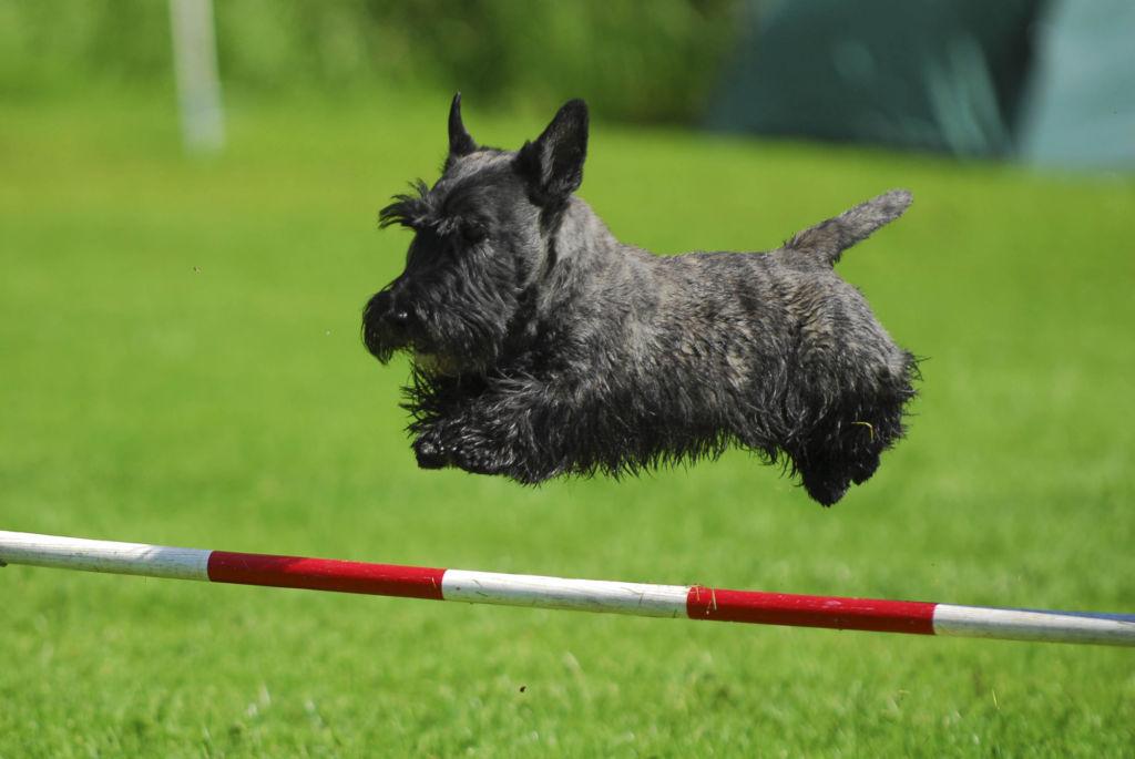 Скотч терьер – крепкая выносливая собака, активная до старости