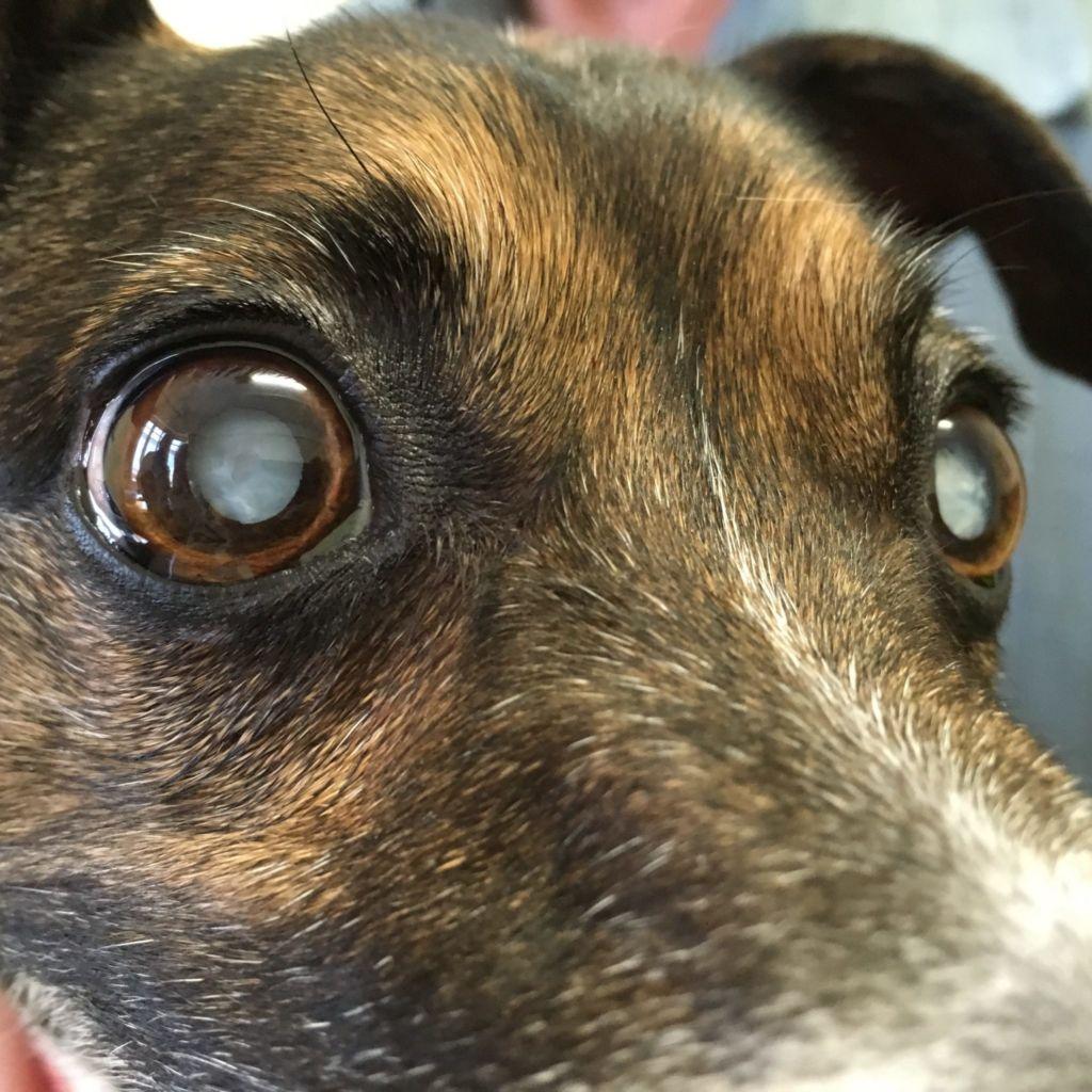 Разввитие катаракты у собаки