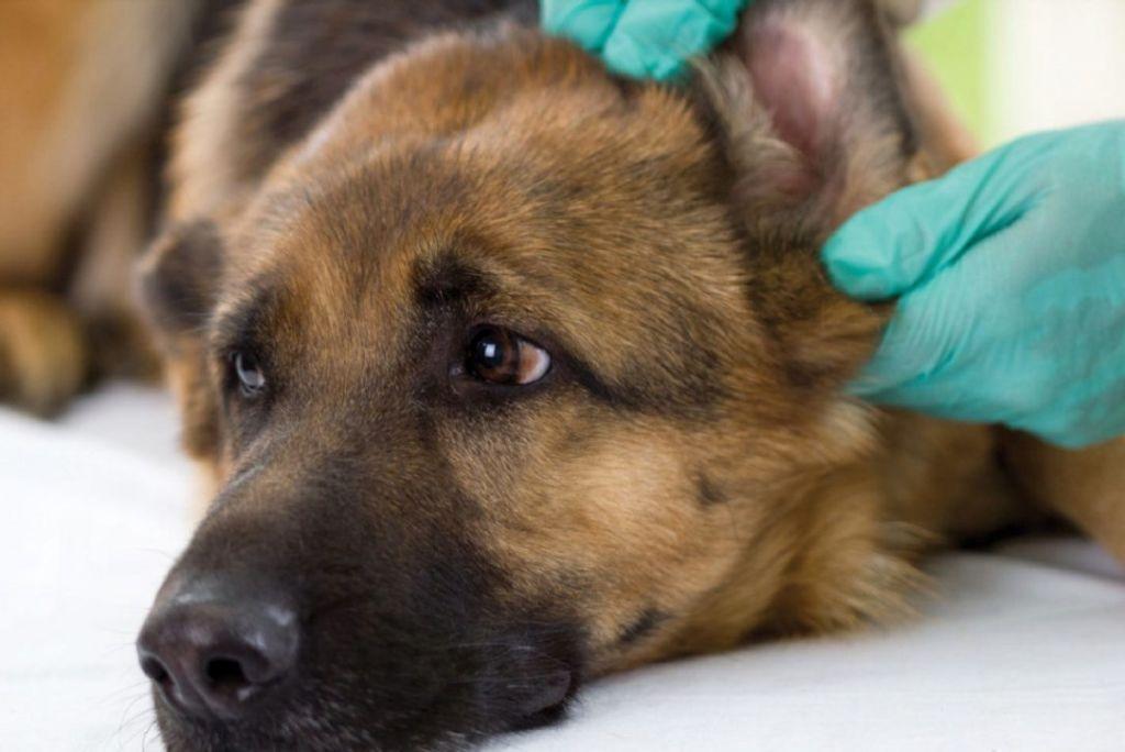 7 видов болезней ушей у собак— описание и что делать