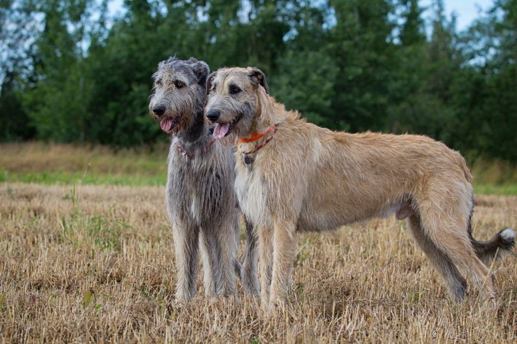 Полное описание породы собак ирландский волкодав