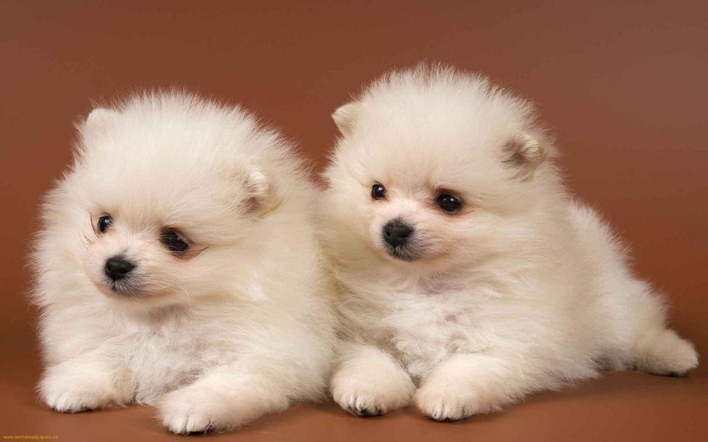 Цена за щенка высокая и составляет примерно 1800 долларов