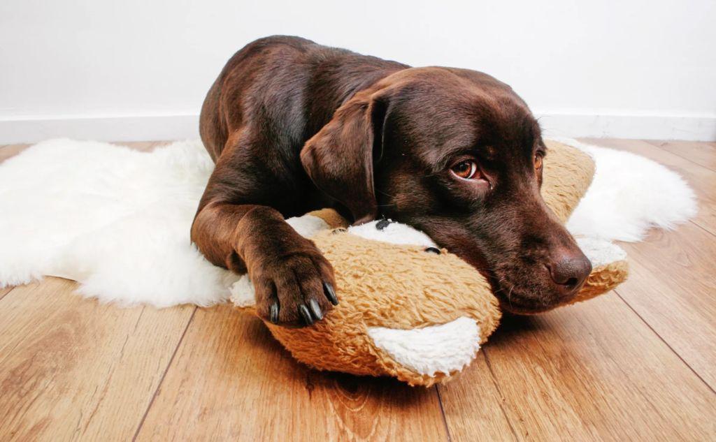 Причины возникновения эпилепсии у собак и последствия