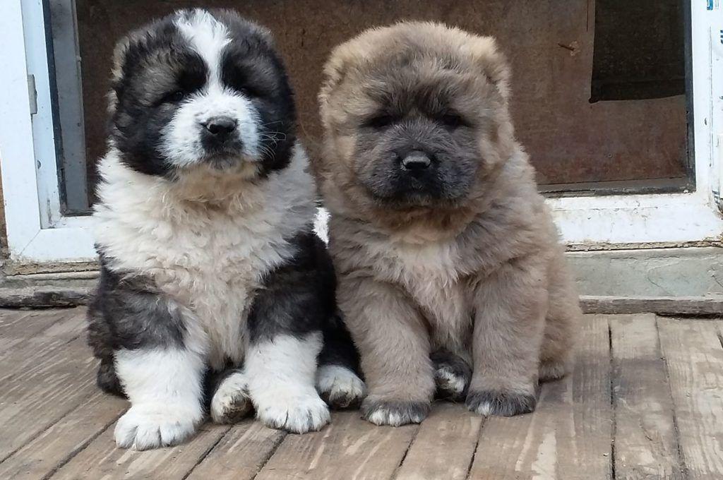 Стоимость щенка кавказской овчарки начинается от 25 тысяч рублей