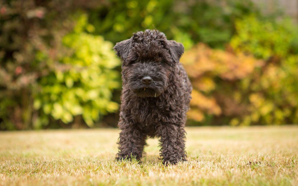 Стоимость щенка керри блю - от 20 000 до 45 000 рублей