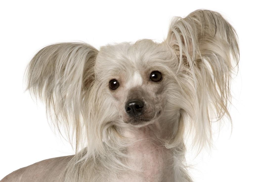 Уход и содержение породы собак китайская хохлатая