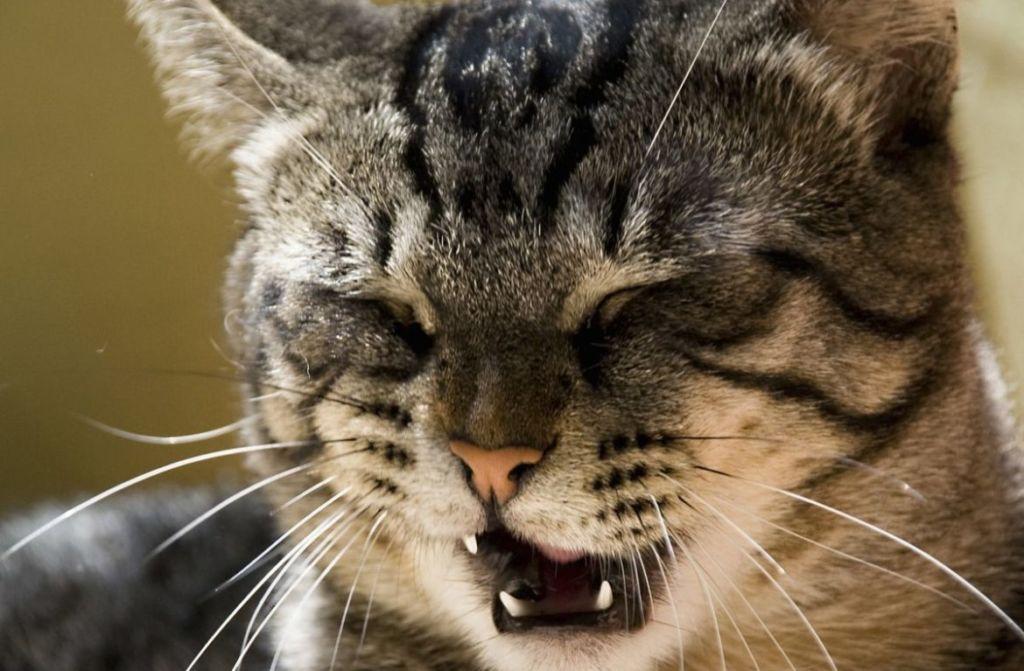 6 причин, почему кот  или кошка чихает и что делать