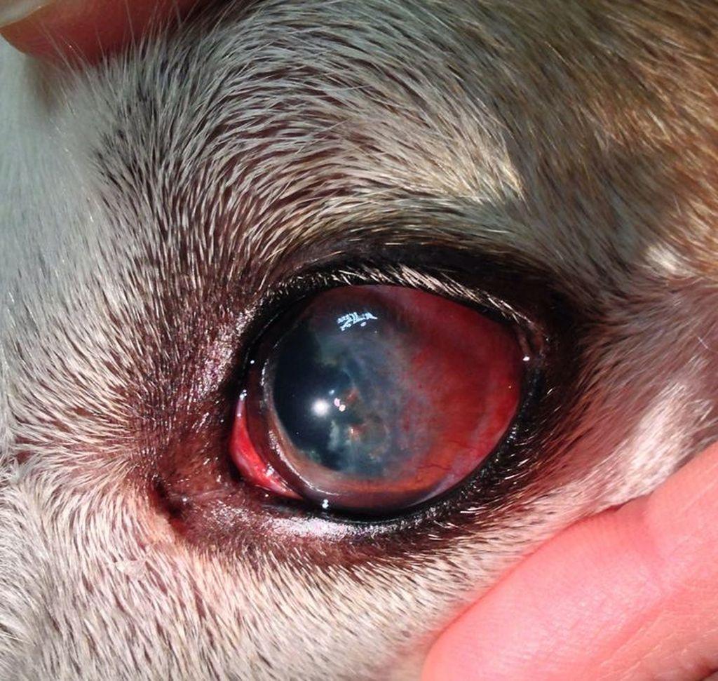 у собаки глаз красный