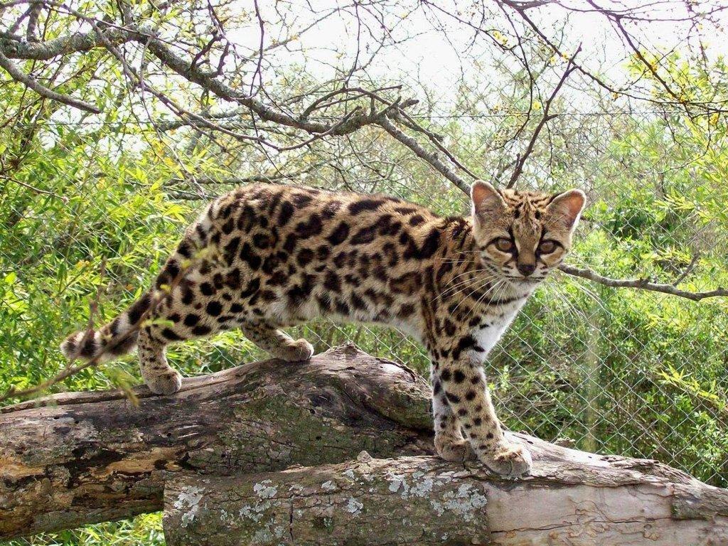вкусные дикие кошки мира фото и названия поможет