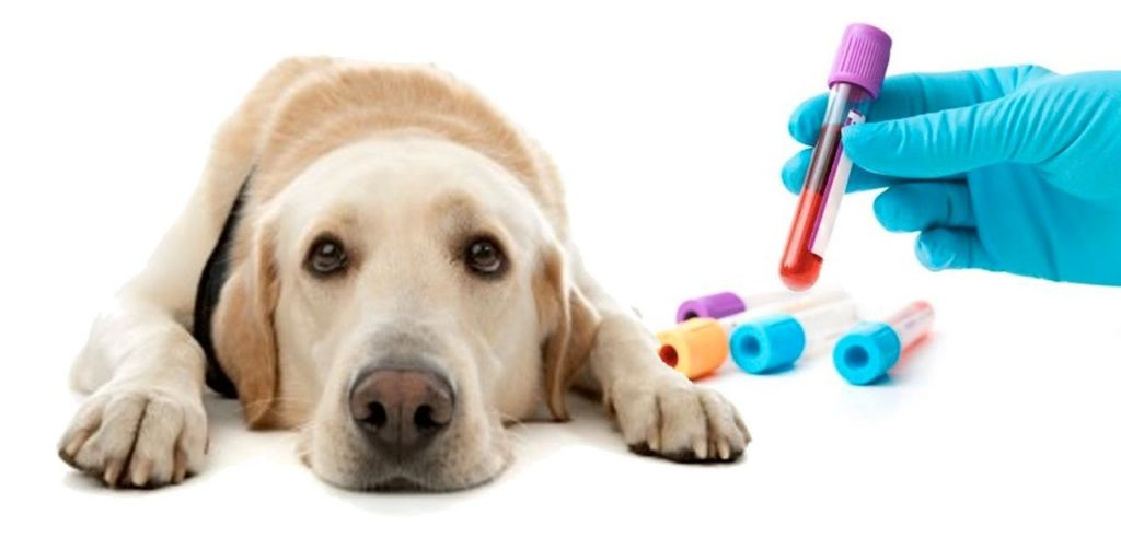 Нормы и таблица расшифровки результатов биохимического анализа крови у собак