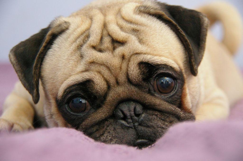 Шишка возле позвоночника у собаки