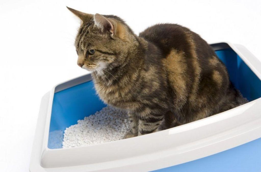 Во время мочекаменной болезни кошка теряет аппетит