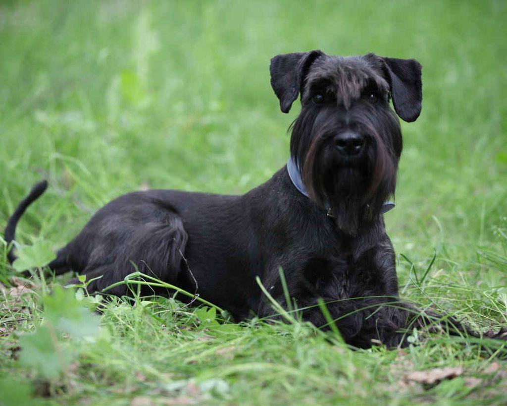 порода собак с бородой фото с названиями предложениями если будут