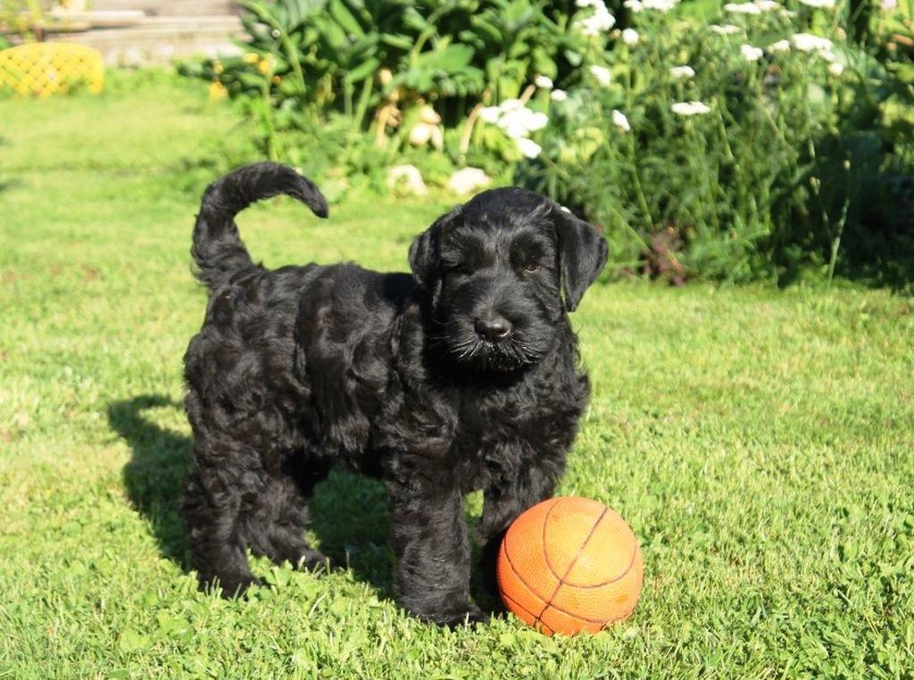 Стоимость щенка зависит от чистокровности происхождения и от родословной его родителей