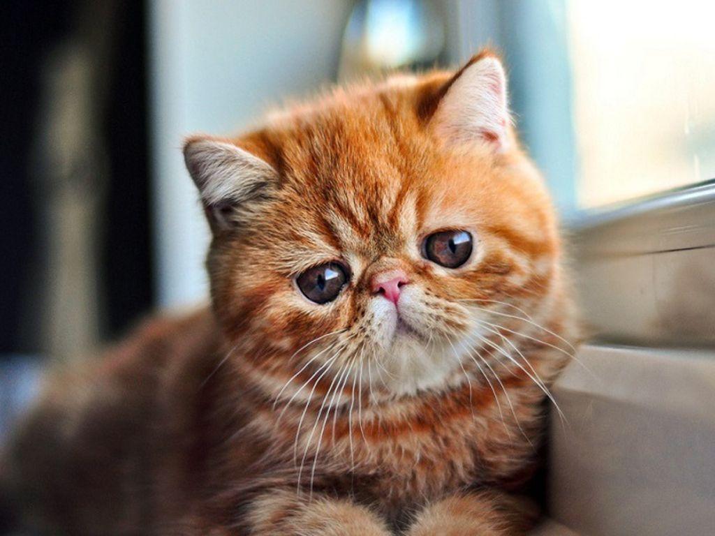 Порода рыжий кот