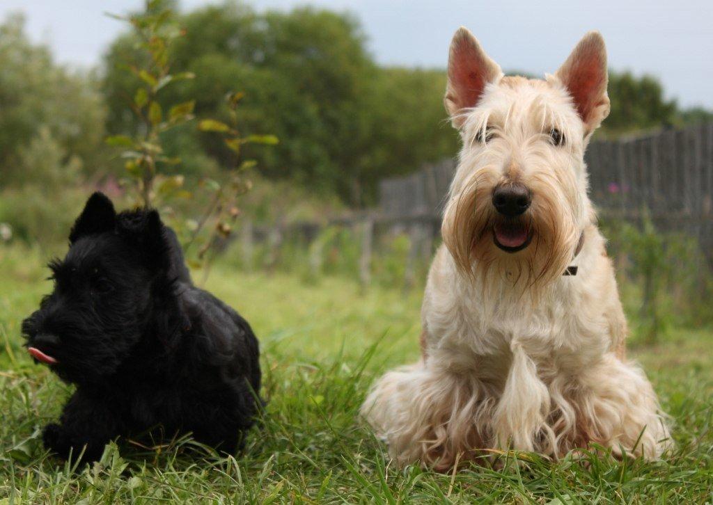 Скотч терьер - это крепкая собака с мощным костяком, глубокой и широкой грудной клеткой