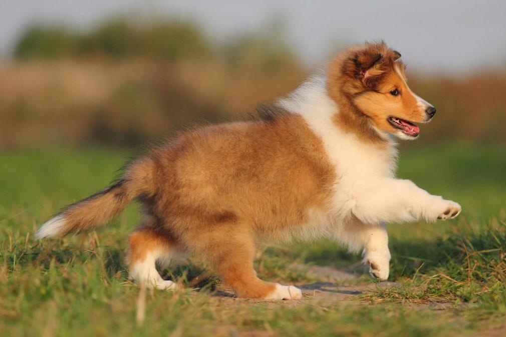 Породистого щенка в среднем можно купить за 20 000 рублей.