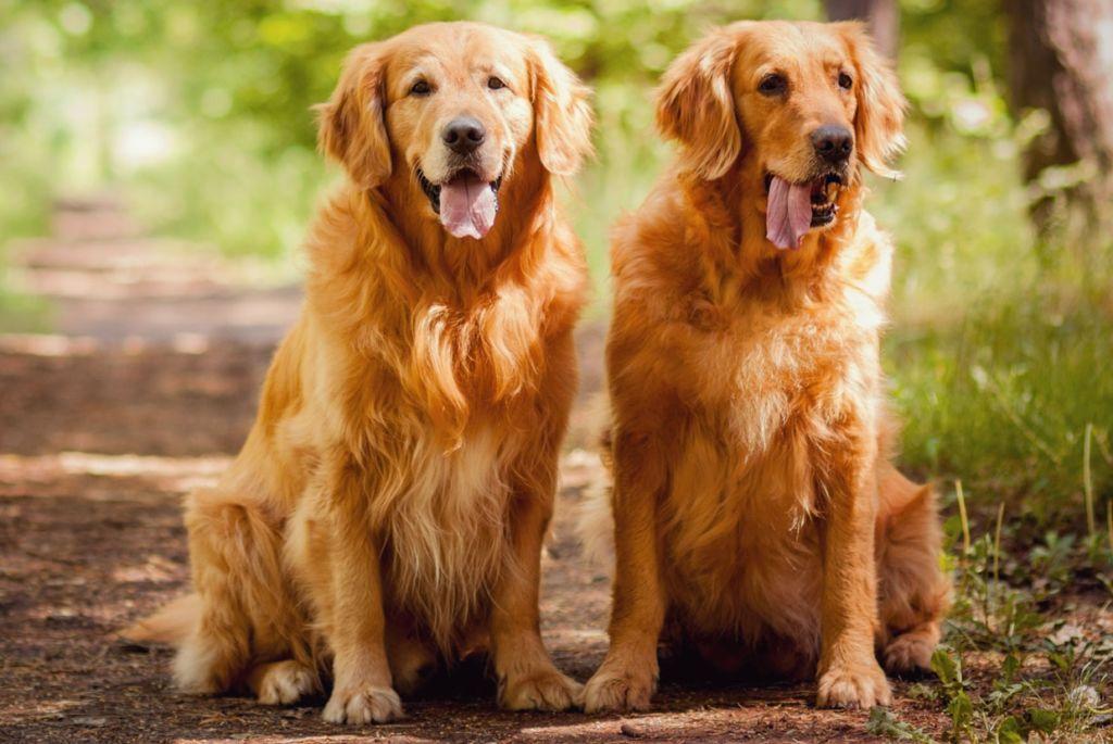 Золотистые ретриверы используются в охоте на дичь
