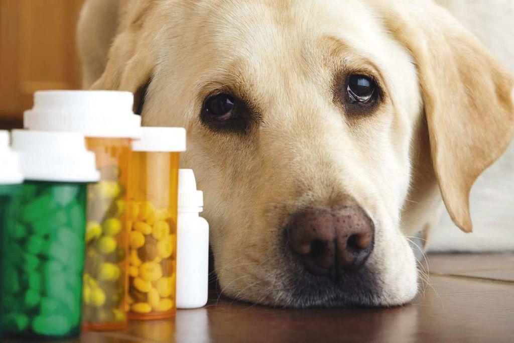 Грыжа на животе у собаки или у щенка — что делать и схема лечения
