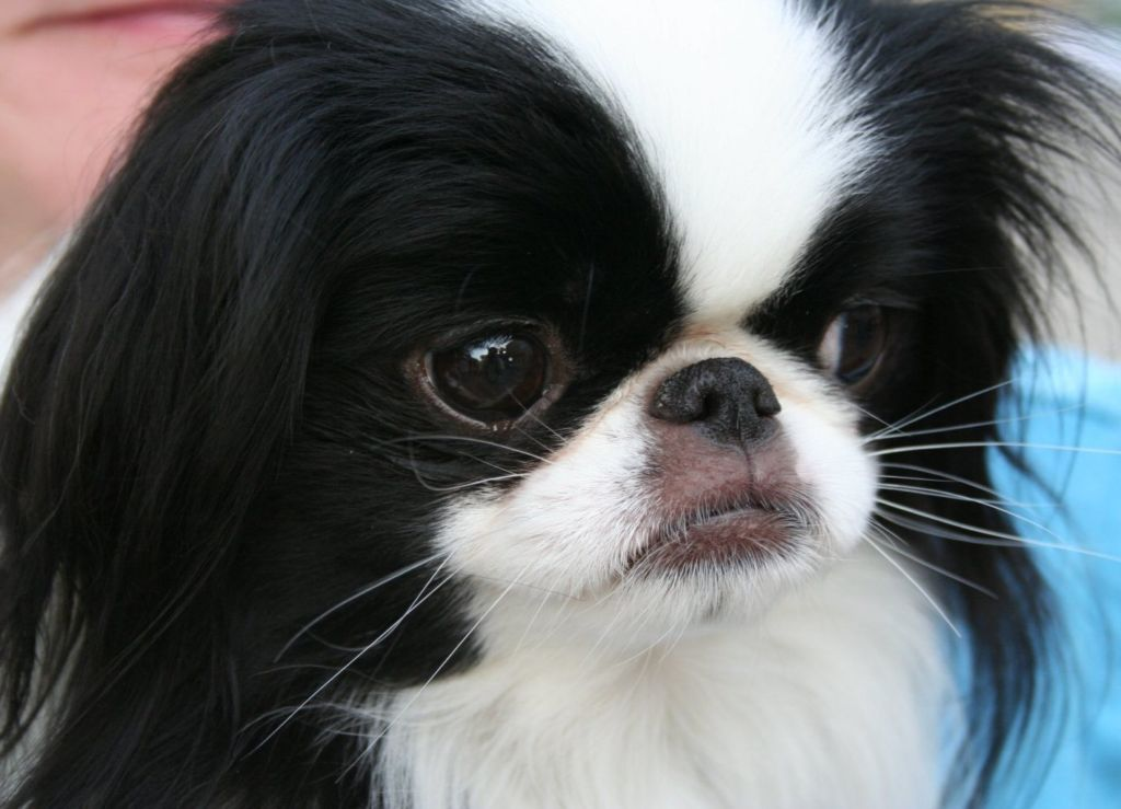 Подробное описание и характер породы собак японский хин