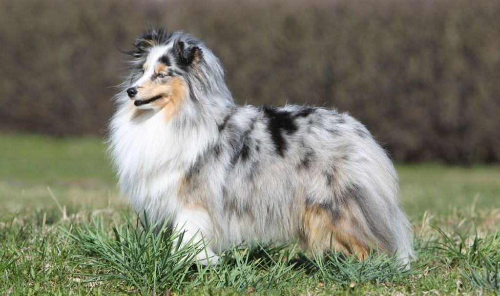шелти собака описание
