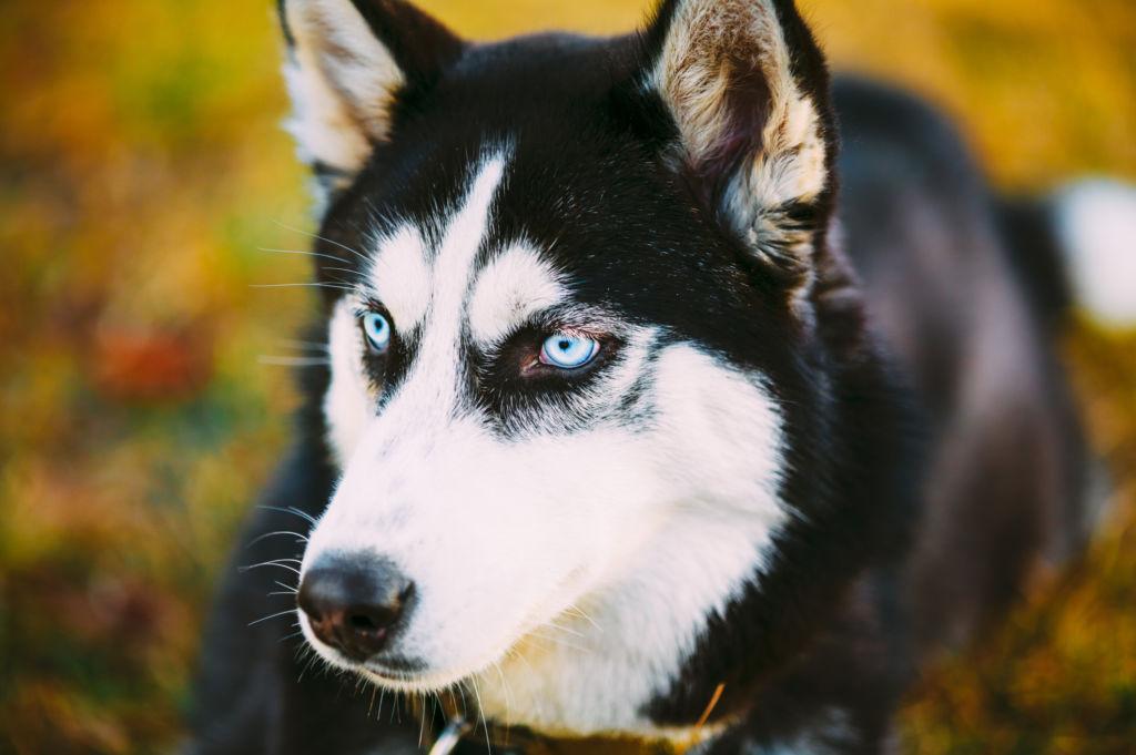Визитная карточка сибирского хаски - его выразительные голубые глаза