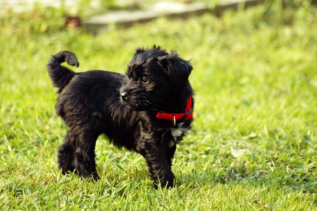 Стоимость щенка тибетского терьера - от 30 000 рублей