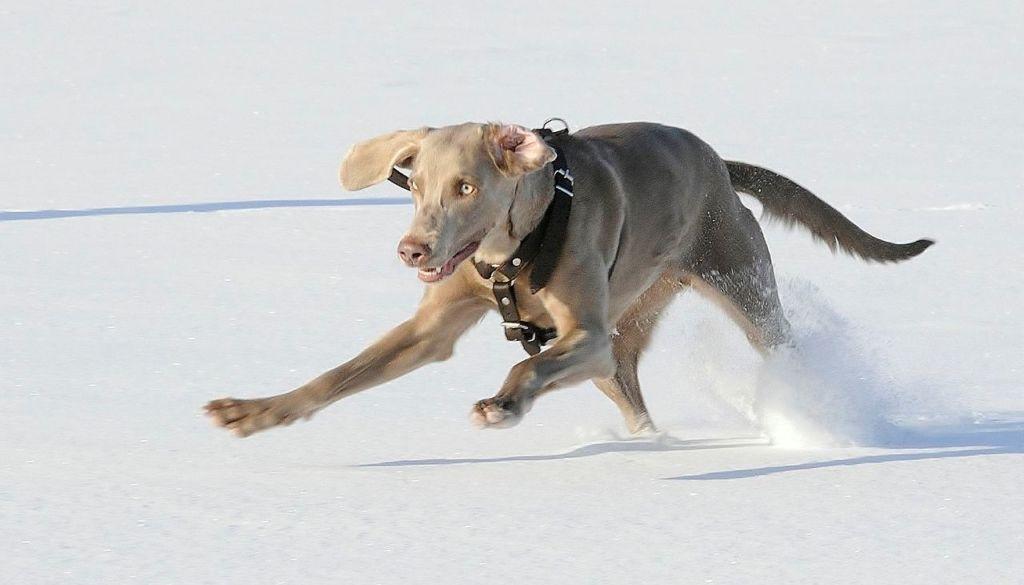 В процессе дрессировки важно не только обучать собаку новым командам, но и регулярно отрабатывать уже пройденные