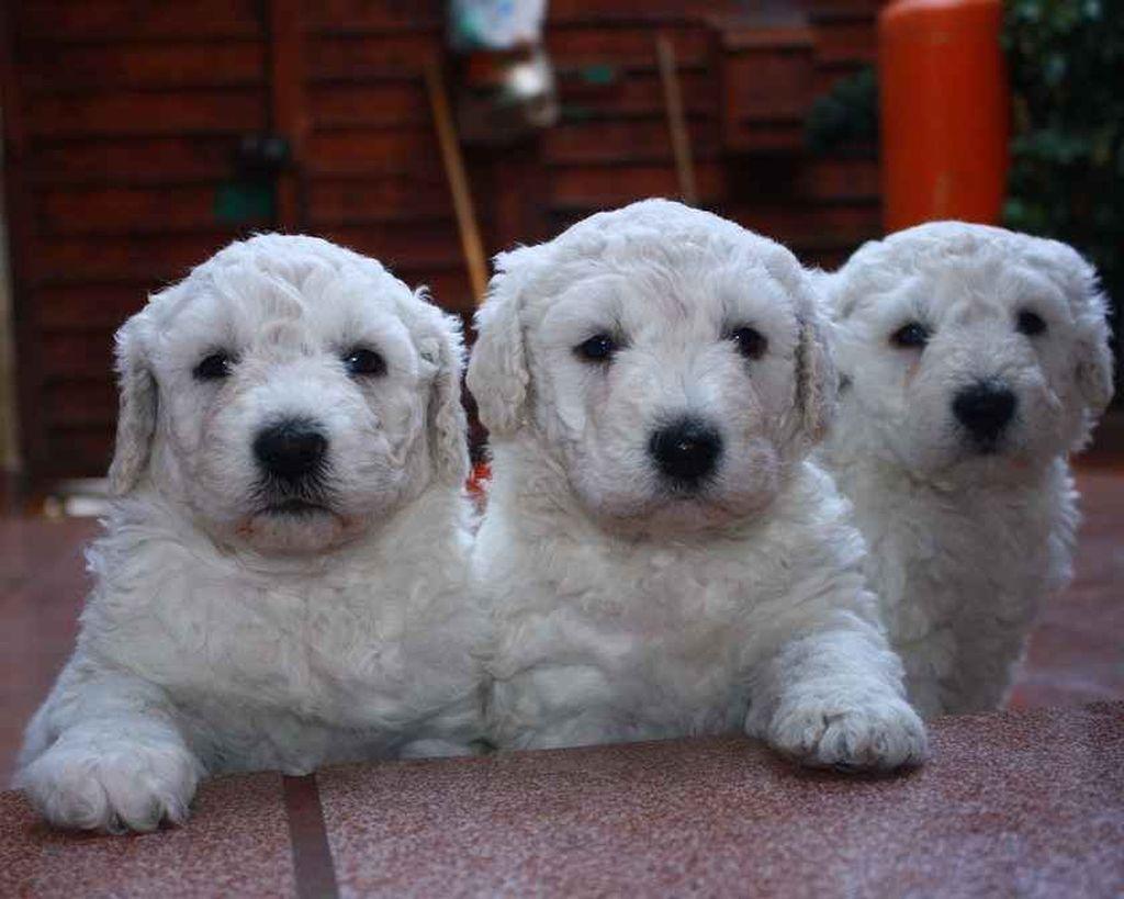 Средняя стоимость щенка породы комондор составляет 50 000 рублей