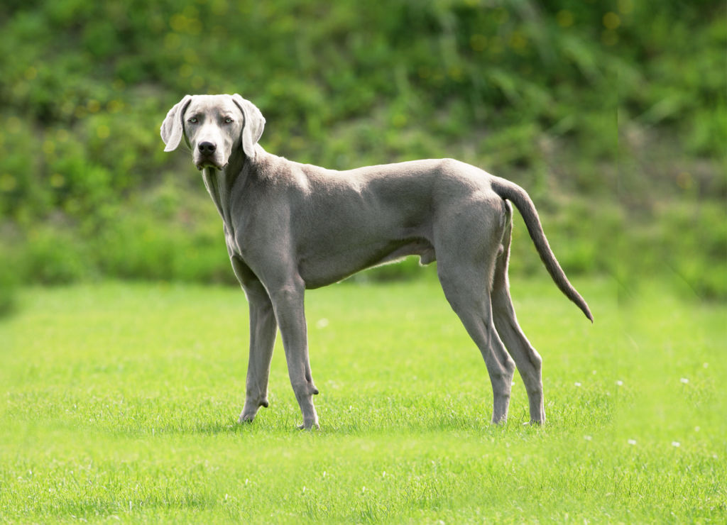 Подробное описание породы собак веймарская легавая или веймаранер