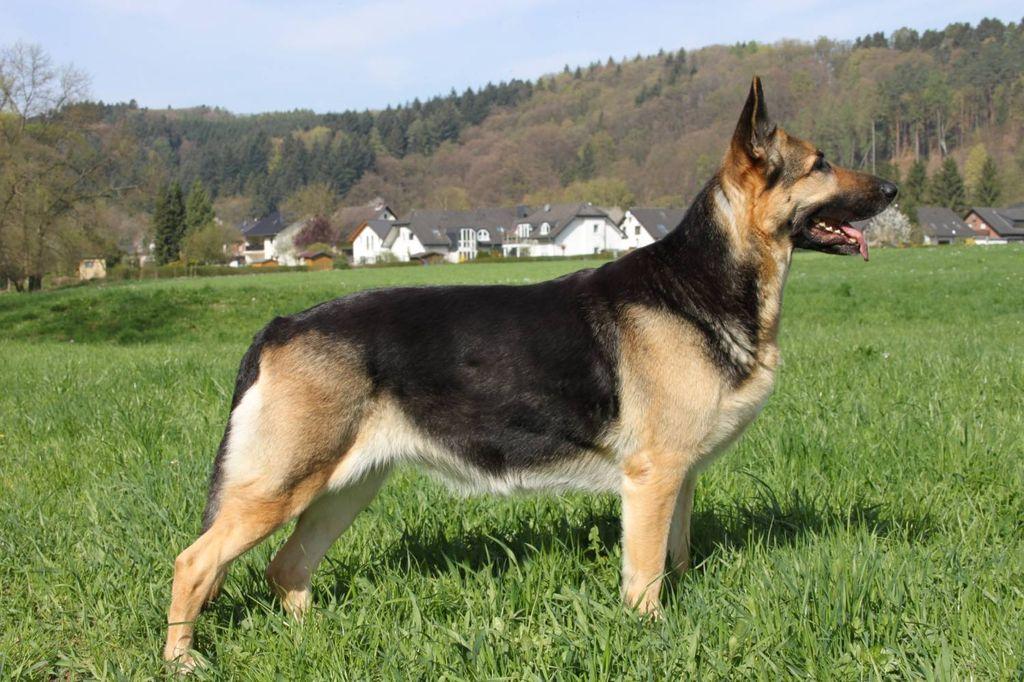 Собаке требуется свободный вольер или длительные прогулки