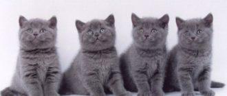 Правильный уход за британскими котятами, воспитание и кормление