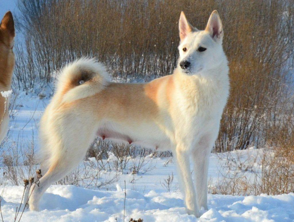 Подробное описание и характеристика породы собак западносибирская лайка