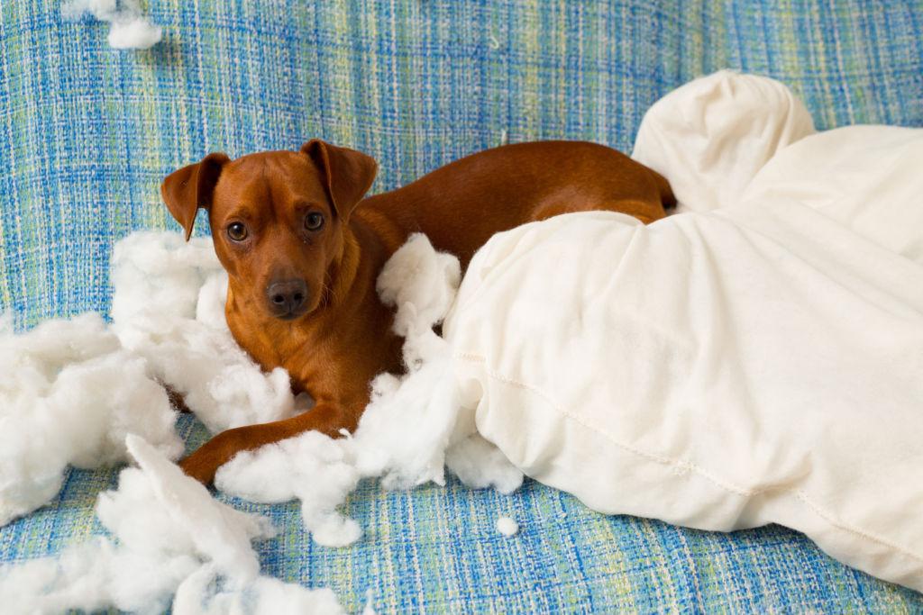 7 правил, как отучить собаку грызть вещи в отсутствие хозяина