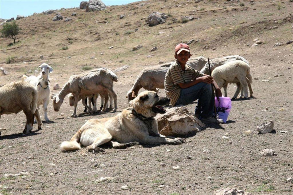 При дрессировке следует учитывать пастушьи и охранные качества пса