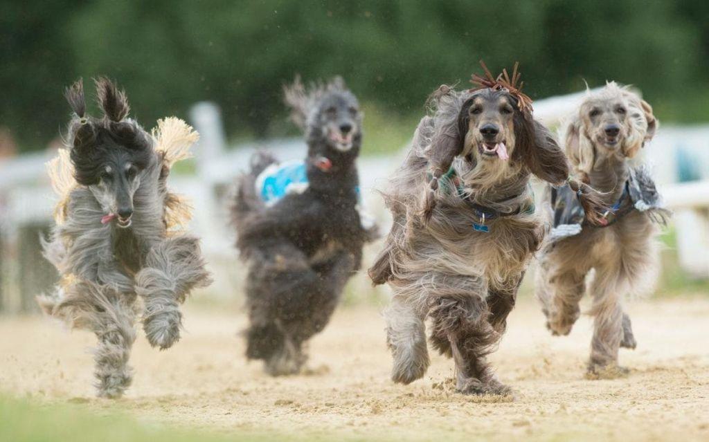 Афганцы - свободолюбивые собаки