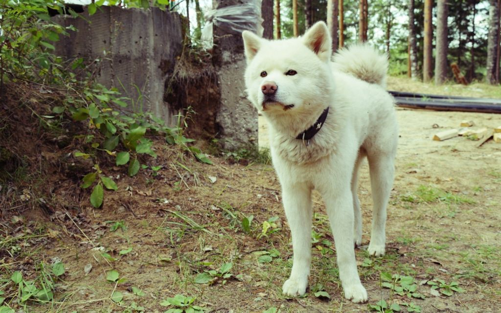 Подробное описание и характеристика породы собак японская акита