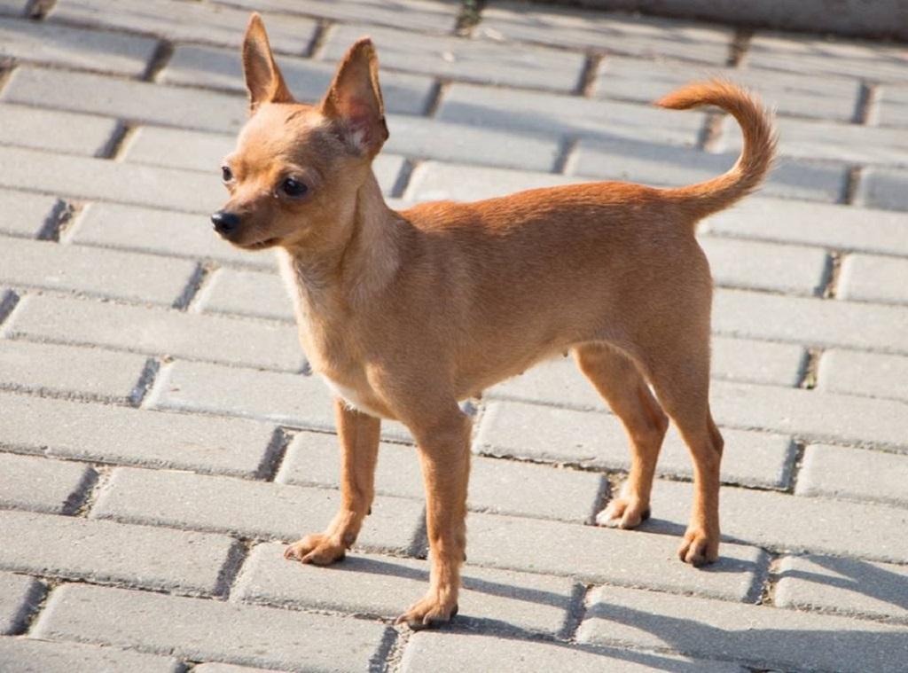 4 необычные метиса чихуахуа и как отличить породистого щенка от метиса
