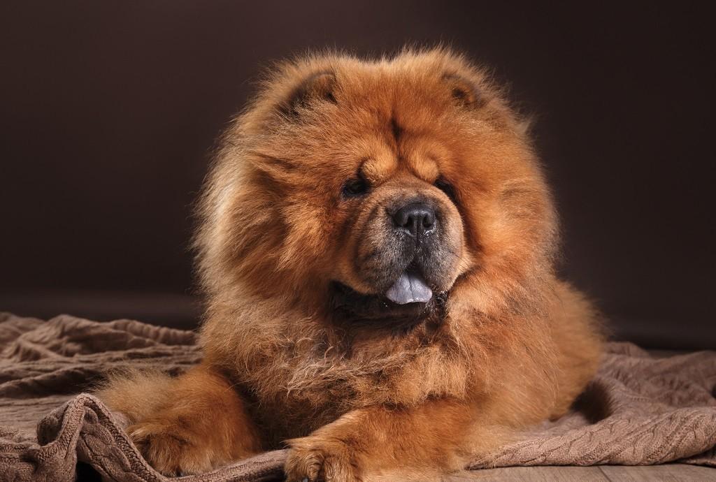 Описание породы собак с синим или фиолетовым языком (чау чау)