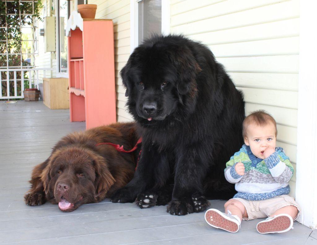 Эти собаки очень любят маленьких детей