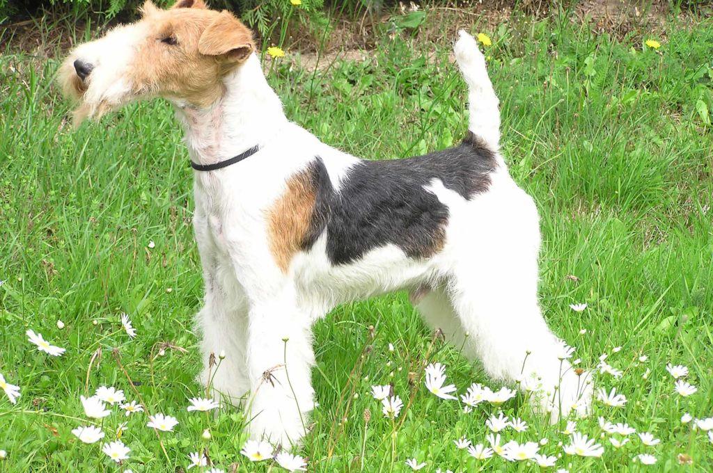 Фокстерьер жесткошерстный - маленькая охотничья собака
