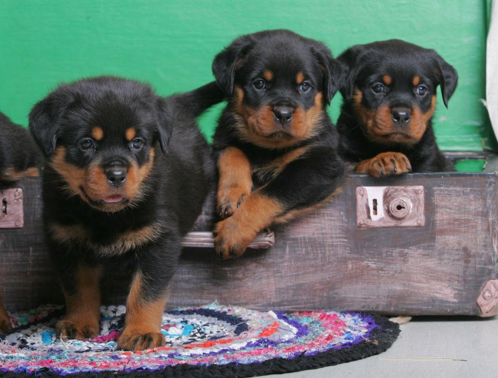 Питомники породы собак ротвейлер достаточно широко распространены