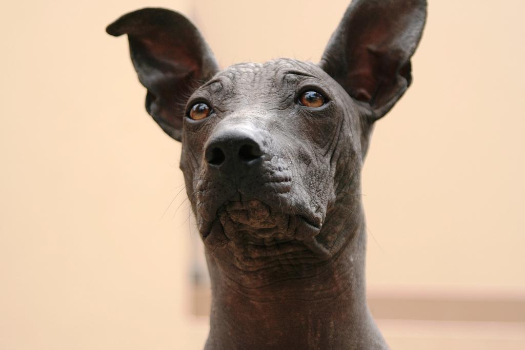 Подробное описание породы перуанская голая собака