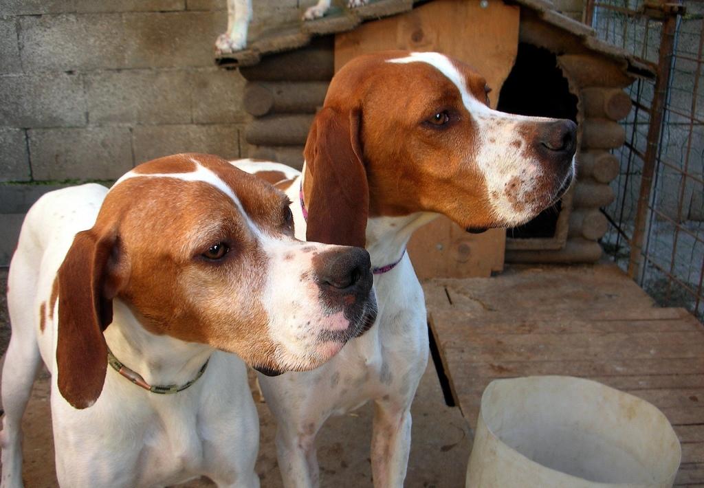 Полное описание породы собак английский пойнтер